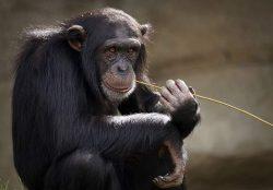 simios y habilidades de destreza