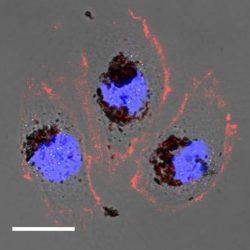 selenomelanina, un biomaterial