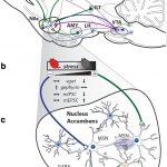 Esta proteína clave de la sinapsis inhibitoria modifica los mecanismos de afrontamiento conductual y la resistencia al estrés