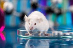 esquizofrenia en raton
